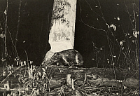 0251829 © Granger - Historical Picture ArchiveWHITEFISH LAKE, ONTARIO, CANADA.   A beaver cuts through another ash tree with its teeth at night. George Shiras.