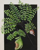 0253324 © Granger - Historical Picture ArchiveARTWORK.   Painting of a northern maidenhair, Adiantum pedatum. E.J. Geske.