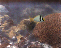 0253333 © Granger - Historical Picture ArchiveNATURAL HABITAT, FLORIDA KEYS, USA.   A yellow and black porkfish swims in the reef. W. H. Longley And Charles Martin.
