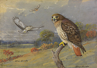 0253373 © Granger - Historical Picture ArchiveARTWORK.   A painting of an adult and two immature red-tailed hawks. Allan Brooks.