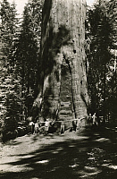 0253417 © Granger - Historical Picture ArchiveSEQUOIA NATIONAL FOREST, CALIFORNIA, UNITED STATES.   Outstretched arms of 20 men embrace the General Sherman Sequoia tree. Gilbert H. Grosvenor.