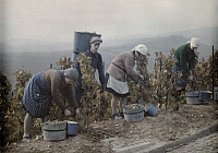 0254997 © Granger - Historical Picture ArchiveEBERBACH, HESSEN-NASSAU, GERMANY.   Harvesters at the Steinberg vineyard put grapes in the mills. Wilhelm Tobien.