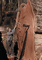 0255900 © Granger - Historical Picture ArchiveNEAR SCOTIA, CALIFORNIA, USA.   A chopper with his tools next to a giant, fallen redwood tree. B. Anthony Stewart.