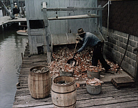 0256029 © Granger - Historical Picture ArchiveOXFORD, MARYLAND, USA.   A man steams crabs at a canning factory. Willard Culver.