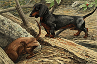 0256807 © Granger - Historical Picture ArchiveARTWORK.   Two dachshunds play in the woods. Louis Agassiz Fuertes.