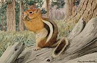 0256844 © Granger - Historical Picture ArchiveARTWORK.   A golden ground squirrel eats a nut in a forest. Louis Agassiz Fuertes.