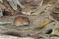 0256853 © Granger - Historical Picture ArchiveARTWORK.   A pine mouse walks towards a burrowed hole in the ground. Louis Agassiz Fuertes.