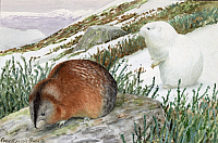 0256854 © Granger - Historical Picture ArchiveARTWORK.   Two banded lemmings stand in the snow. Louis Agassiz Fuertes.