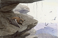 0256859 © Granger - Historical Picture ArchiveARTWORK.   A Mexican bat sits on a rock. Louis Agassiz Fuertes.