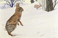 0256865 © Granger - Historical Picture ArchiveARTWORK.   Two cottontail rabbits hop through the snow. Louis Agassiz Fuertes.