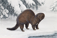 0256869 © Granger - Historical Picture ArchiveARTWORK.   An American mink stands in the snow. Louis Agassiz Fuertes.