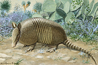 0256871 © Granger - Historical Picture ArchiveARTWORK.   A view of a nine-banded armadillo. Louis Agassiz Fuertes.