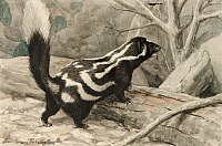 0256872 © Granger - Historical Picture ArchiveARTWORK.   A spotted skunk climes over a log. Louis Agassiz Fuertes.
