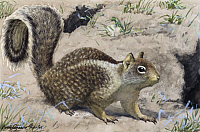 0256874 © Granger - Historical Picture ArchiveARTWORK.   A view of a California ground squirrel. Louis Agassiz Fuertes.