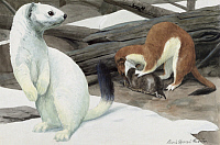 0256880 © Granger - Historical Picture ArchiveARTWORK.   A stoat weasel attacks it's prey as another watches. Louis Agassiz Fuertes.