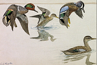 0256937 © Granger - Historical Picture ArchiveARTWORK.   A painting of a pair of green-winged teals and blue-winged teals. Louis Agassiz Fuertes.