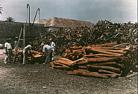 0256995 © Granger - Historical Picture ArchiveJAMAICA.   A group of men gather and chop logwood and fustic. Jacob J. Gayer.