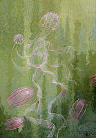 0257025 © Granger - Historical Picture ArchiveARTWORK.   A painting of two species of comb-jellies. William H. Crowder.