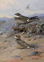 0257109 © Granger - Historical Picture ArchiveARTWORK.   A painting of nighthawks: Chordeiles minor and Chordeiles acutipennis. Allan Brooks.