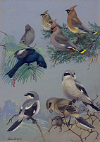 0257123 © Granger - Historical Picture ArchiveARTWORK.   Painting of songbirds including shrikes, waxwings, and phainopeplas. Allan Brooks.