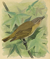 0257154 © Granger - Historical Picture ArchiveARTWORK.   A painting of a red-eyed vireo singing. Louis Agassiz Fuertes.