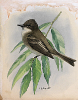 0257157 © Granger - Historical Picture ArchiveARTWORK.   A painting of a phoebe perched on a branch. Louis Agassiz Fuertes.