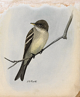 0257158 © Granger - Historical Picture ArchiveARTWORK.   A painting of a wood pewee perched on a branch. Louis Agassiz Fuertes.