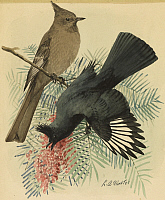 0257159 © Granger - Historical Picture ArchiveARTWORK.   A painting of a pair of black flycatchers, also known as Phainopepla. Louis Agassiz Fuertes.