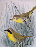 0257165 © Granger - Historical Picture ArchiveARTWORK.   A painting of a male and a female Maryland yellow-throat. Louis Agassiz Fuertes.