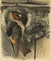0257168 © Granger - Historical Picture ArchiveARTWORK.   A painting of a cliff, or eaves swallow clinging to a nest. Louis Agassiz Fuertes.