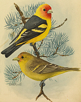 0257170 © Granger - Historical Picture ArchiveARTWORK.   A painting of a male and female western tanager pair. Louis Agassiz Fuertes.