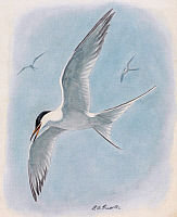 0257175 © Granger - Historical Picture ArchiveARTWORK.   A painting of a common tern flying with two, distant, companions. Louis Agassiz Fuertes.