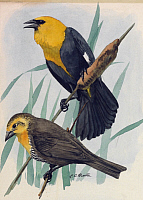 0257176 © Granger - Historical Picture ArchiveARTWORK.   A painting of a pair of yellow-headed blackbirds. Louis Agassiz Fuertes.