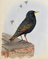 0257178 © Granger - Historical Picture ArchiveARTWORK.   A painting of a starling perched on a building ledge. Louis Agassiz Fuertes.