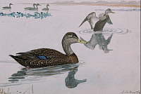 0257183 © Granger - Historical Picture ArchiveARTWORK.   A painting of a black duck. Louis Agassiz Fuertes.