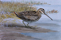 0257185 © Granger - Historical Picture ArchiveARTWORK.   A painting of a Wilson's snipe. Louis Agassiz Fuertes.