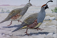 0257189 © Granger - Historical Picture ArchiveARTWORK.   A painting of a pair of Gambel's quail. Louis Agassiz Fuertes.
