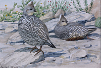 0257190 © Granger - Historical Picture ArchiveARTWORK.   A painting of a scaled quail and a chestnut-bellied scaled quail. Louis Agassiz Fuertes.