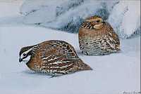 0257192 © Granger - Historical Picture ArchiveARTWORK.   A painting of two bobwhites, Colinus virginianus virginianus, in snow. Louis Agassiz Fuertes.