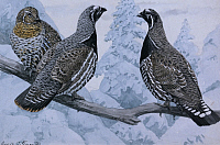 0257194 © Granger - Historical Picture ArchiveARTWORK.   A painting of a pair of spruce grouse and a Franklin's grouse. Louis Agassiz Fuertes.