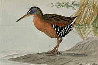 0257196 © Granger - Historical Picture ArchiveARTWORK.   A painting of a Virginia rail. Louis Agassiz Fuertes.