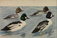 0257199 © Granger - Historical Picture ArchiveARTWORK.   A painting of breeding pairs from two species of golden-eyes. Louis Agassiz Fuertes.
