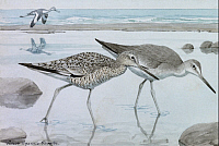 0257206 © Granger - Historical Picture ArchiveARTWORK.   A painting of willets in both winter and summer plumage. Louis Agassiz Fuertes.