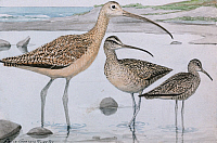 0257207 © Granger - Historical Picture ArchiveARTWORK.   A painting of three species of curlew. Louis Agassiz Fuertes.