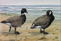 0257210 © Granger - Historical Picture ArchiveARTWORK.   Two brant species stand on a beach. Louis Agassiz Fuertes.