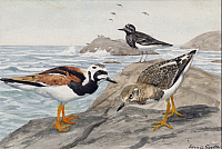 0257211 © Granger - Historical Picture ArchiveARTWORK.   A painting of a pair of ruddy turnstones and a black turnstone. Louis Agassiz Fuertes.