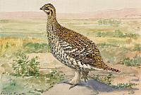 0257220 © Granger - Historical Picture ArchiveARTWORK.   A painting of a sharp-tailed grouse. Louis Agassiz Fuertes.