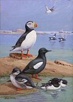 0257233 © Granger - Historical Picture ArchiveARTWORK.   A painting of an Atlantic puffin, black guillemots, and dovekies. Allan Brooks.