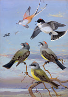 0257247 © Granger - Historical Picture ArchiveARTWORK.   A painting of several kingbirds and a scissor-tailed flycatcher. Allan Brooks.