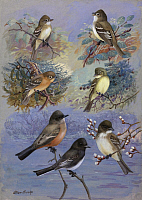 0257248 © Granger - Historical Picture ArchiveARTWORK.   A painting of several species of flycatcher and phoebe. Allan Brooks.